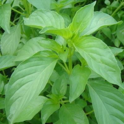 Tulsi Kali (Ocimum canum)