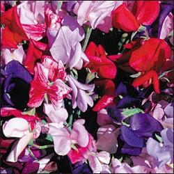 Duftwicken Grandiflora