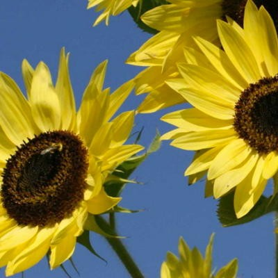 Arikara, Sonnenblume