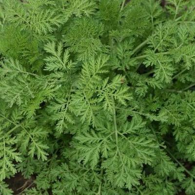 Artemisia annua Pulver 25 g