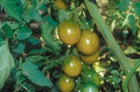 Raisin Vert, Grüne Weintraube (Kirschtomate)