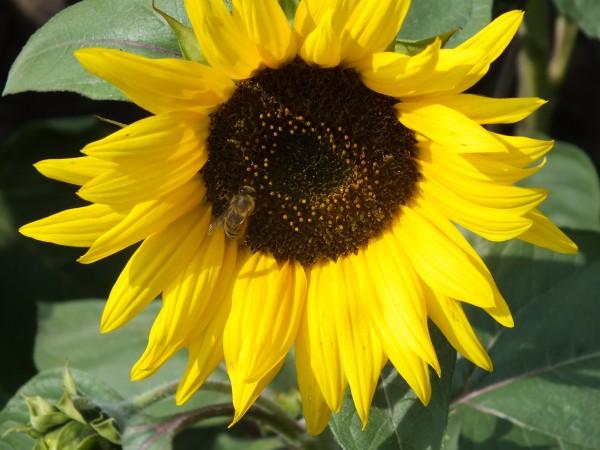 Riesensonnenblume Molly