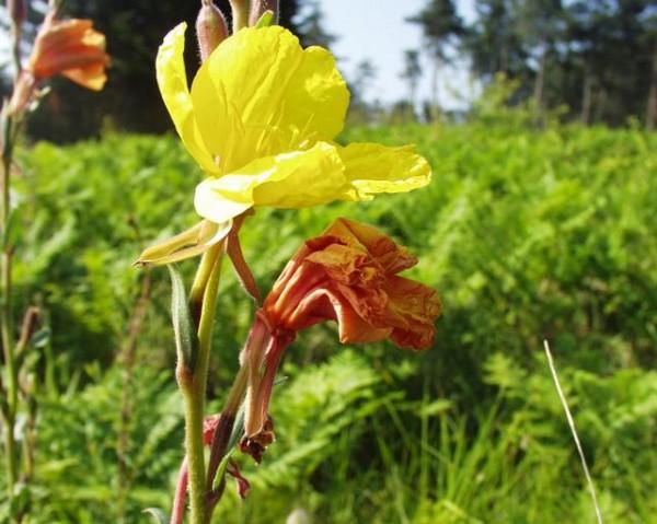 Nachtkerze (Oenothera biennis)