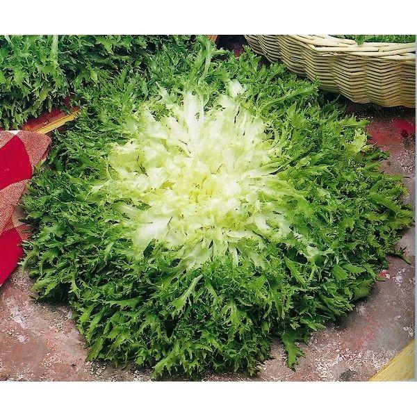 Maraichère Frisée Fine / Krause Endivie (Cichorium endivia L. var. crispum Lam.)