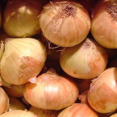Zwiebel Walla Walla (Allium Cepa)