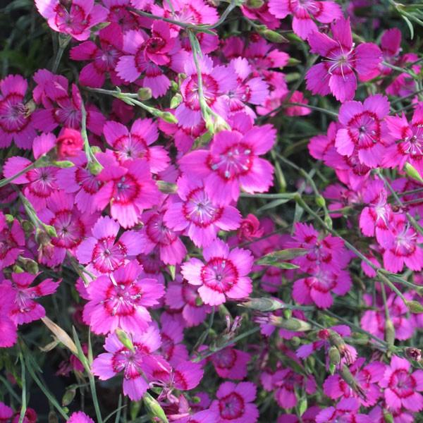 """Nelke Dianthus deltoides `""""Pnk Gem"""""""