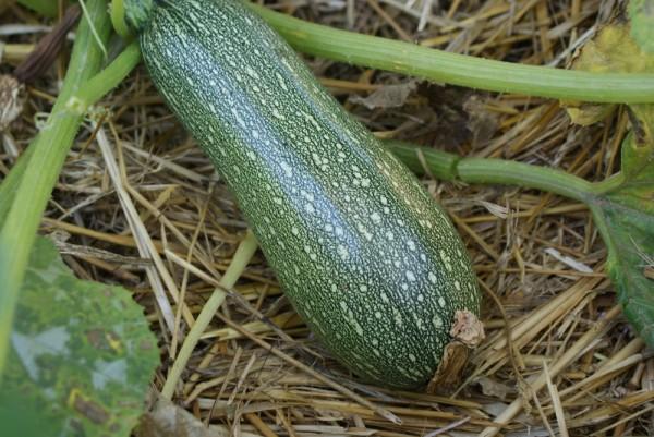Kleine aus Algerien, Zucchini