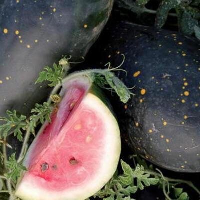 Mond und Sterne Cherokee Variante, Wassermelone