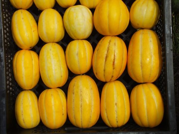 Gelbe Zuckermelone aus Korea, Honigmelone
