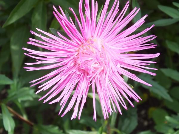 Sommeraster 'Callistephus chinensis'