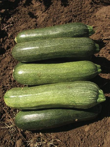 Alberello di Sarzano, Zucchini