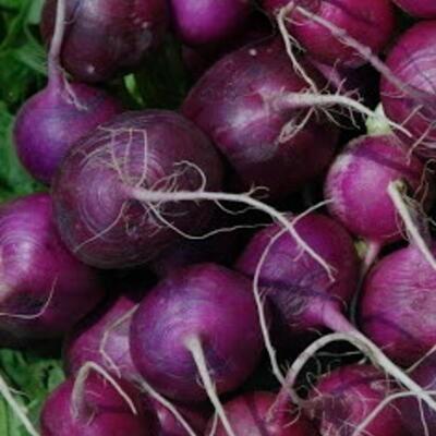 Radieschen Purple Plum
