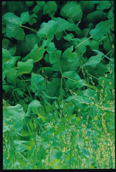Sauerampfer, französischer (Rumex acetosus)