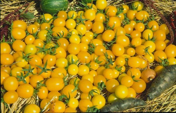 7-er Set Frühe Tomaten für Freilandlkultur