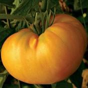 Amana Orange-15 Korn