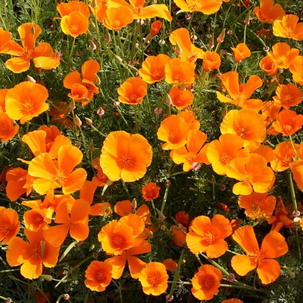 'Eschscholzia californica', Kalifornischer Mohn Schlafmützchen