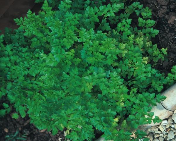 Petersilie einfache Schnitt (Petroselinum crispum)