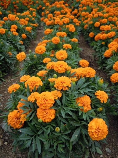 """Speisetagetes """"Tangerine Gem"""" (Tagetes tenuifolia)"""