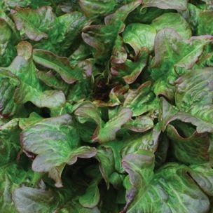 Salat Bronze Beauty (Arrowhead)