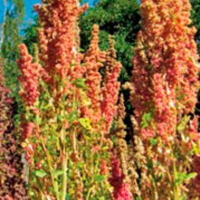 Quinoa Kaslala