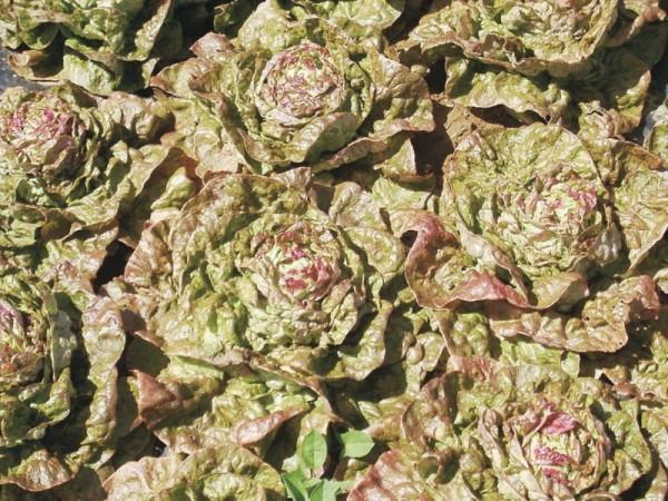 Speckled Amish Butterhead, Kopfsalat, früh