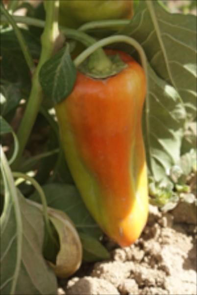 Aconcagua, Gemüsepaprika