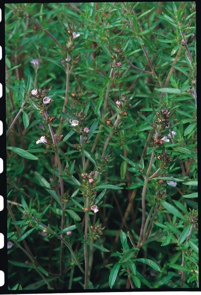 Gartenbohnenkraut (Satureia hortensis)