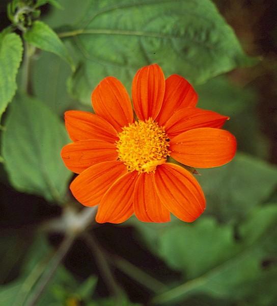 Tithonia Speciosa – Tithonie, Mexikanische Sonnenblume-