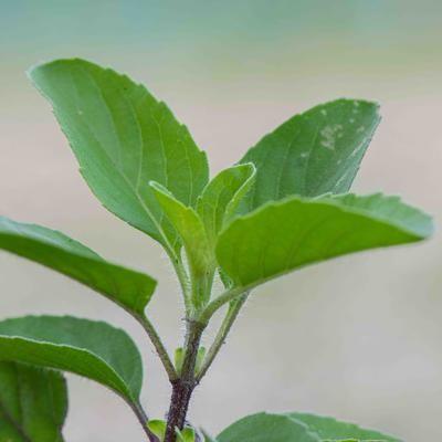 Tulsi Krishna (Ocimum tenuiflorum)