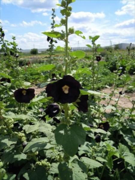 Stockrose, schwarze (Althaea rosea var. nigra)