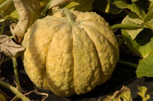 Frühe Prescott, Honigmelone
