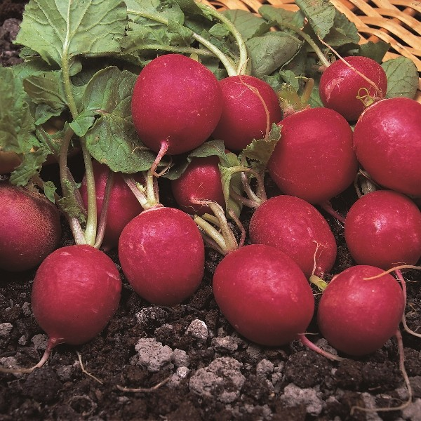 Cherry Belle, Radieschen