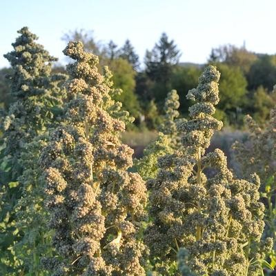 Quinoa Chadmo
