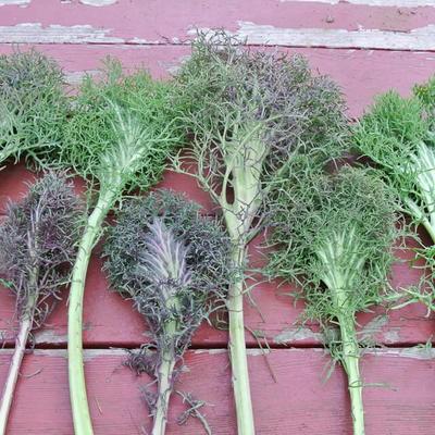 Grünkohl Bear Necessities (Brassica napus pabularis)