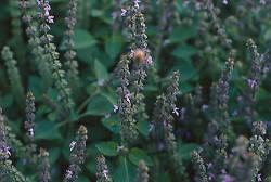Tulsi Rama (Ocimum tenuiflorum)