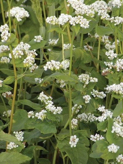 Buchweizen (Fagopyrum esculentum)-500g