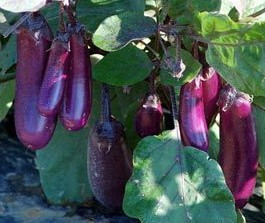 'Slim Jim', Aubergine
