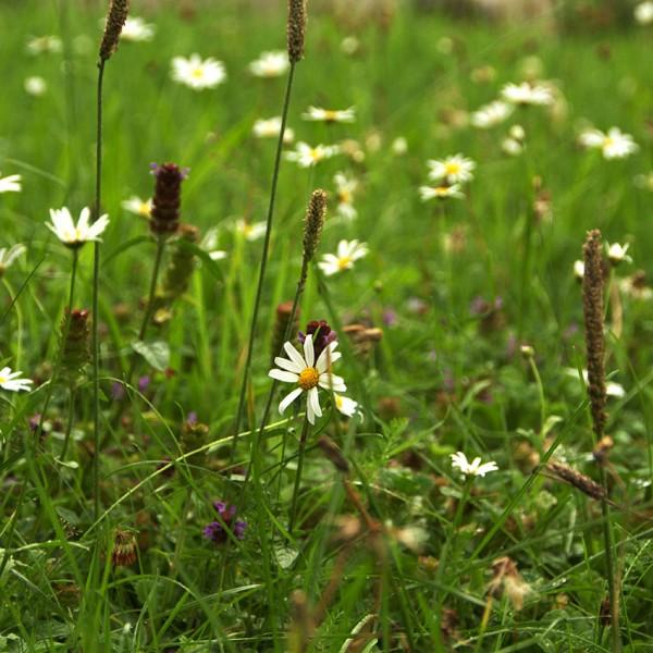 Blumenrasen ELFE-20 qm