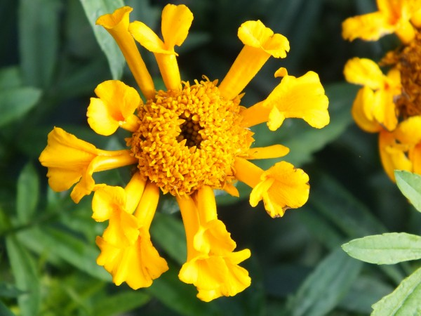 Tagetes erecta 'Golden Trumpets' – Hohe Studentenblume
