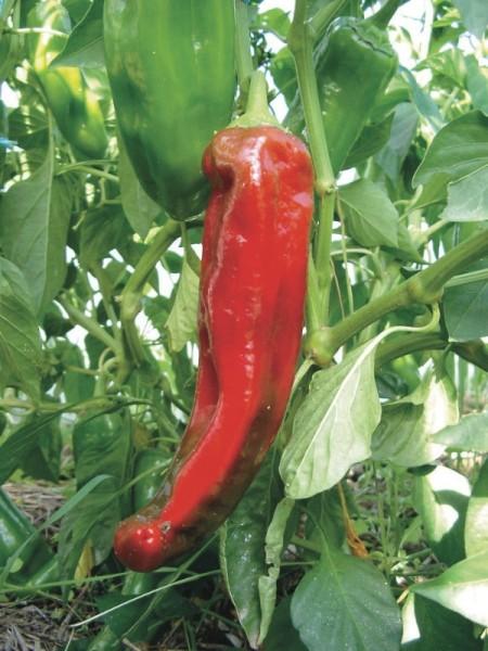 Rotes Stierhorn
