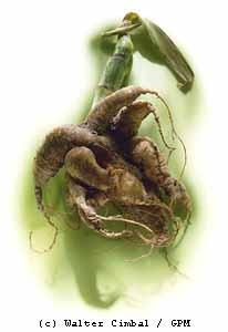 Kerbelrübe (Chaerophyllum bulbosum)