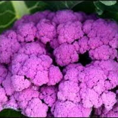 Blumenkohl Violeter aus Sizilien