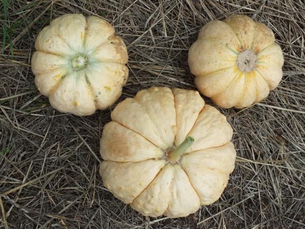 Melone Prescott Fond Blanc