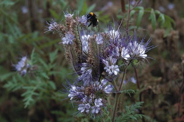 Phacelia, Bienenweide (Phacelia tanacetifolia)