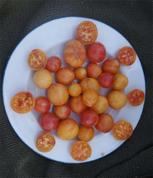 Marizol Gold Cherry
