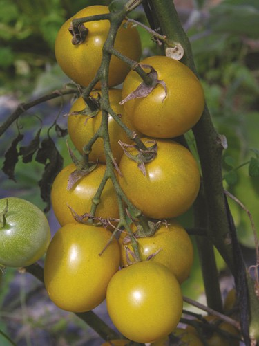 Green Grape (Kirschtomate)