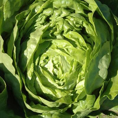 Kopfsalat / Eissalat Kagraner Sommer (Lactuca sativa)
