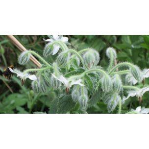 Boretsch weißblütig