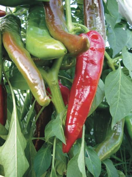 Ortega (milde Pepperoni)