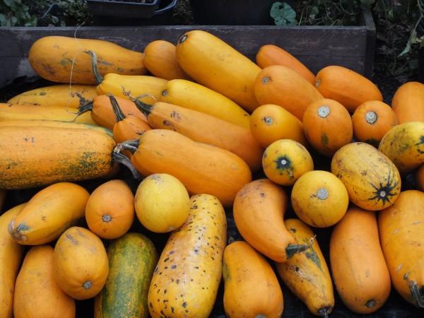 Mix gelbfarbiger Zucchini